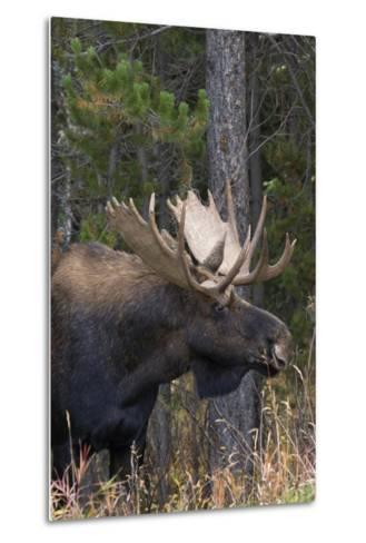 Shiras Bull Moose-Ken Archer-Metal Print