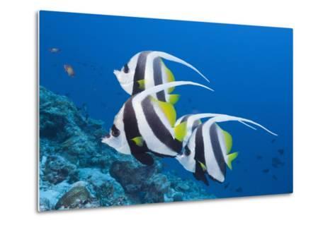 Pennant Bannerfish (Heniochus Diphreutes)-Reinhard Dirscherl-Metal Print