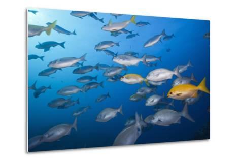 Blue-Bronze Sea Chub (Kyphosus Analogus) and Yellow Sea Chub (Kyphosus Lutescens) School-Reinhard Dirscherl-Metal Print