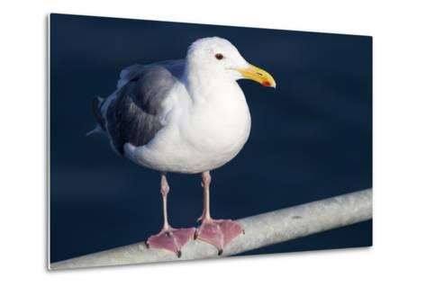Wa, San Juan Islands, Glaucous Winged Gull, Larus Glaucescens-Jamie And Judy Wild-Metal Print