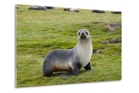 South Georgia. Salisbury Plain. Antarctic Fur Seal Standing-Inger Hogstrom-Metal Print