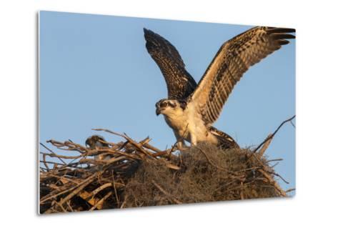 Juvenile Osprey Testing Wings, Flamingo, Everglades National Park, Florida-Maresa Pryor-Metal Print