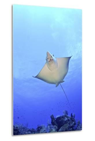 Spotted Eagle Ray Glides over the Wall, Eagle Ray Pass, Grand Cayman-Stocktrek Images-Metal Print