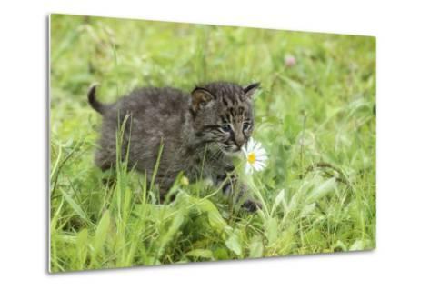 Minnesota, Sandstone, Bobcat Kitten in Spring Grasses with Daisy-Rona Schwarz-Metal Print