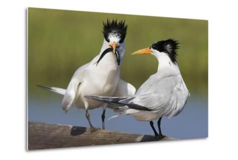 Elegant Tern Offers Fish to Potential Mate-Hal Beral-Metal Print