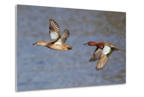Cinnamon Teal Drake and Hen Flying-Hal Beral-Metal Print