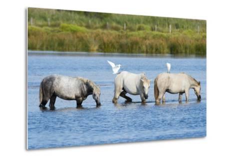 Camargue Wild Horses-Sergio Pitamitz-Metal Print