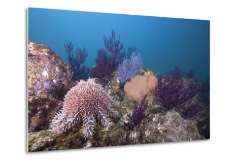 Crown-Of-Thorns Starfish (Acanthaster Planci)-Reinhard Dirscherl-Metal Print