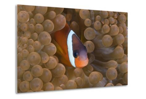 Tomato Anemonefish (Amphiprion Frenatus)-Reinhard Dirscherl-Metal Print