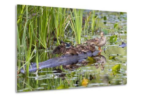Washington, Juanita Bay Wetland, Mallard Fe Duck and Ducklings-Jamie And Judy Wild-Metal Print