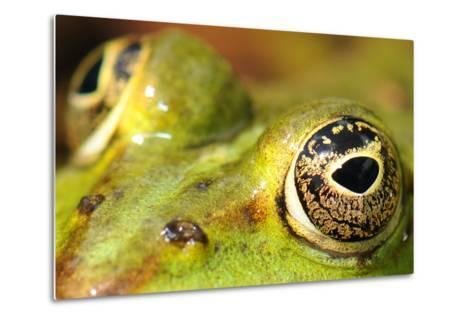 Close-Up of the Eye of a Frog in a Pond Awaiting His Prey--Metal Print