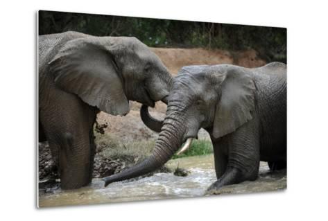 South Africa - Elephants, November 29, 2009 in Zuurberg--Metal Print