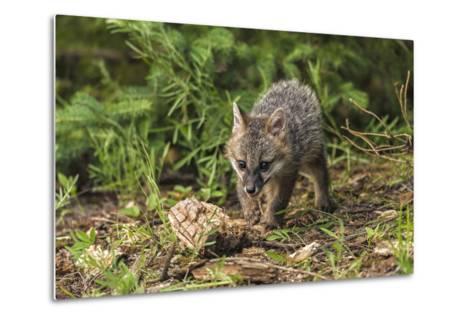 Minnesota, Sandstone, Minnesota Wildlife Connection. Grey Fox Kit-Rona Schwarz-Metal Print