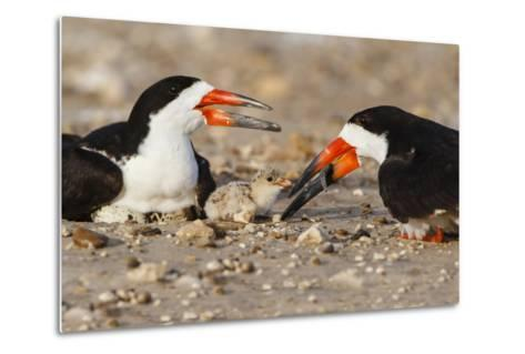 Port Isabel, Texas. Black Skimmer Adult Feeding Young-Larry Ditto-Metal Print
