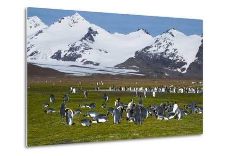 South Georgia. Salisbury Plain. King Penguins, Aptenodytes Patagonicus-Inger Hogstrom-Metal Print