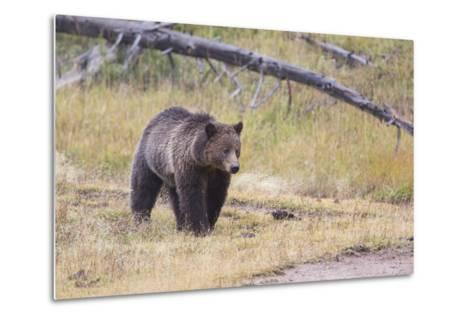 Wyoming, Yellowstone National Park, Grizzly Bear-Elizabeth Boehm-Metal Print