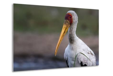 Yellow-Billed Stork-Sergio Pitamitz-Metal Print