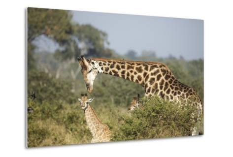 Giraffe Male and Calf-Richard Du Toit-Metal Print