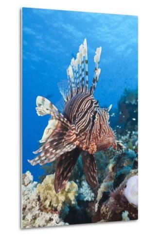 Lionfish (Pterois Miles)-Reinhard Dirscherl-Metal Print