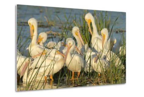 A Congregation of White Pelicans, Viera Wetlands, Florida-Maresa Pryor-Metal Print