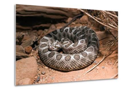 Desert Massasauga Rattlesnake, Sistrurus Catenatus Edwardsi-Susan Degginger-Metal Print