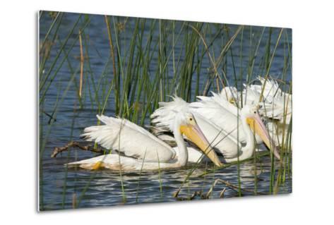 A Flock of White Pelicans in Line Feeding, Viera Wetlands, Florida-Maresa Pryor-Metal Print