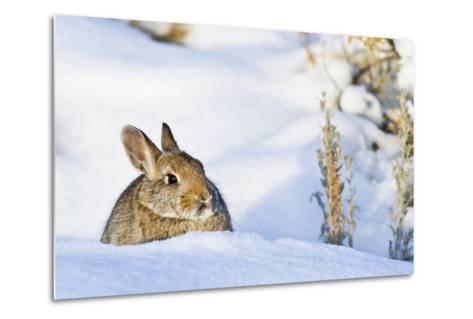 Wyoming, Sublette County, Nuttalls Cottontail Rabbit Sitting in Snow-Elizabeth Boehm-Metal Print