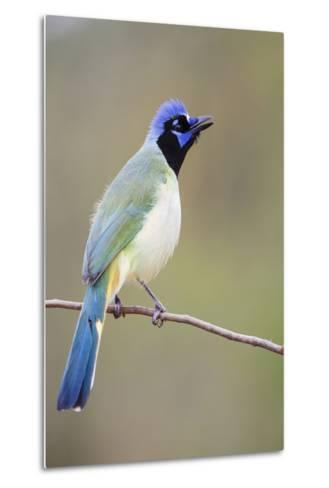 Starr County, Texas. Green Jay Threat Display to Other Jays-Larry Ditto-Metal Print
