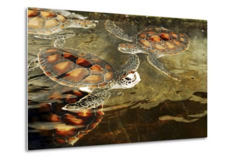 Tanzania, Zanzibar, Nungwi, Mnarani Aquarium, Swimming Turtles-Anthony Asael-Metal Print