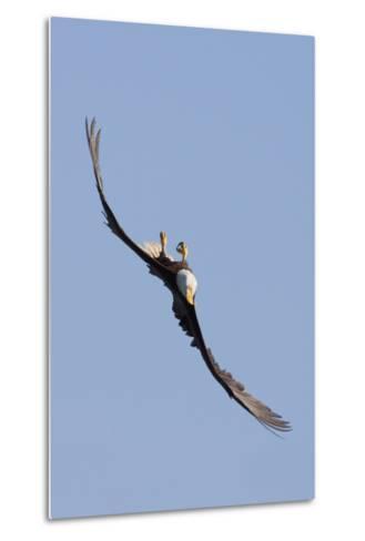 Bald Eagle in Flight, Upside Down-Ken Archer-Metal Print