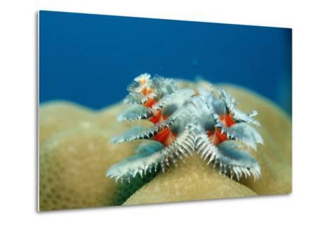 Christmas Tree Worms Growing on Coral (Spirobranchus Giganteus), Pacific Ocean, Borneo.-Reinhard Dirscherl-Metal Print