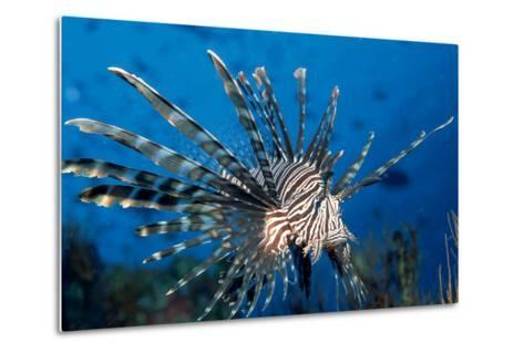 Lionfish or Turkeyfish (Pterois Volitans), Indian Ocean.-Reinhard Dirscherl-Metal Print