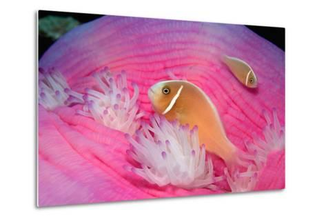 Pink Anemonefishes in a Sea Anemone (Amphiprion Perideraion), Pacific Ocean.-Reinhard Dirscherl-Metal Print