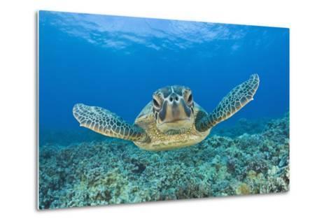 Green Turtle (Chelonia Mydas), Maui, Hawaii, USA-Reinhard Dirscherl-Metal Print