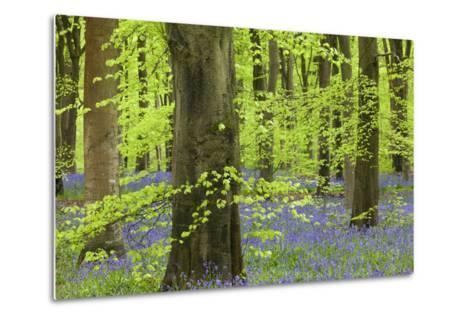 Bluebell Carpet in a Beech Woodland, West Woods, Lockeridge, Wiltshire, England. Spring-Adam Burton-Metal Print