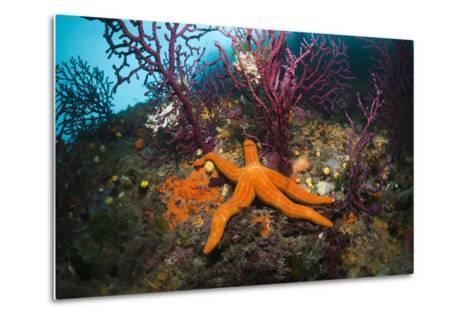 Red Starfish on a Coral Reef (Echinaster Sepositus), Cap De Creus, Costa Brava, Spain-Reinhard Dirscherl-Metal Print