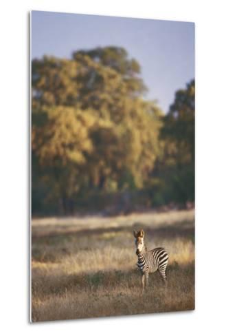 Zimbabwe, View of Burchells Zebra Linkwasha in Hwange National Park-Stuart Westmorland-Metal Print
