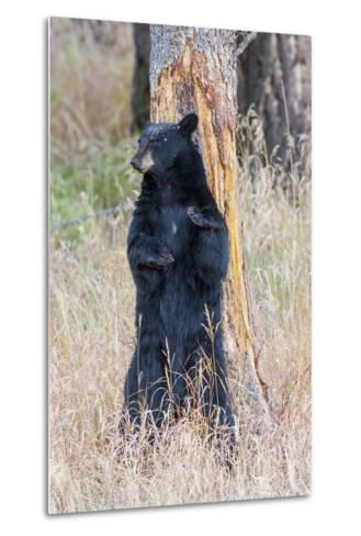 USA, Wyoming, Yellowstone National Park, Black Bear Scratching on Lodge Pole Pine-Elizabeth Boehm-Metal Print