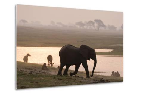 African Elephant Running to the River-Sergio Pitamitz-Metal Print