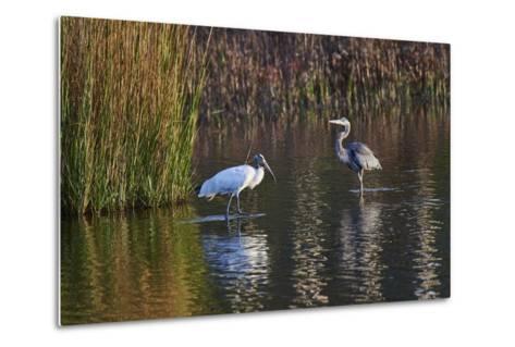Wood Stork-Gary Carter-Metal Print
