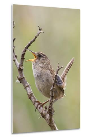 Marsh Wren Calling-Hal Beral-Metal Print