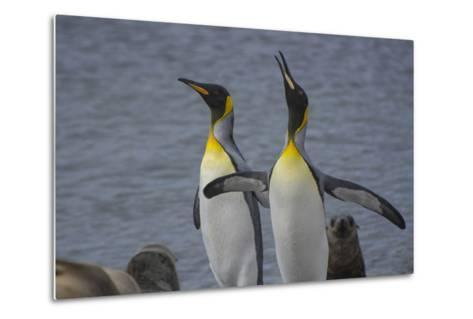 South Georgia. Stromness. King Penguin Calling for its Mate-Inger Hogstrom-Metal Print