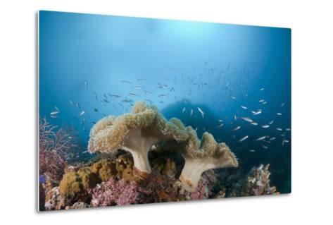 Mushroom Soft Corals (Sarcophyton), Raja Ampat, West Papua, Indonesia-Reinhard Dirscherl-Metal Print