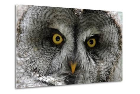 A Lapland-Great Gray Owl at the Zoo in Dortmunde--Metal Print