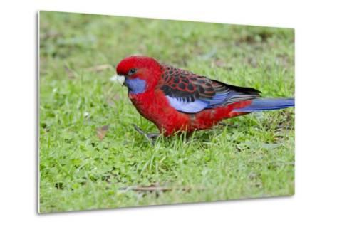 Australia, Dandenong National Park, Grants Reserve. Crimson Blue Cheeked Rosella-Cindy Miller Hopkins-Metal Print