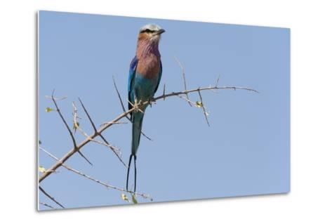 Lilac-Breasted Roller-Sergio Pitamitz-Metal Print