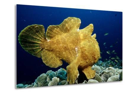 Giant Frogfish (Antennarius Commersonii), Pacific Ocean, Panglao Island.-Reinhard Dirscherl-Metal Print