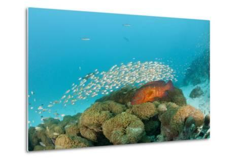 Schoolof Pygmy Sweepers and a Coral Grouper-Reinhard Dirscherl-Metal Print