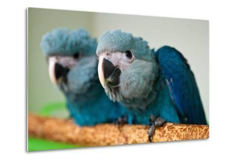 Two Brazilian Spix's Macaws, Two Month's Old, Said to Be the Rarest Parrot Species-Patrick Pleul-Metal Print