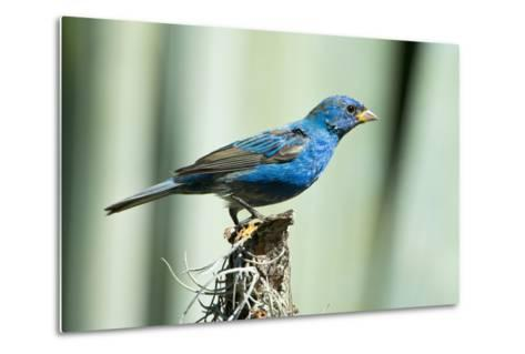 North America, USA, Florida, Immokalee, Indigo Bunting Perched on Snag-Bernard Friel-Metal Print